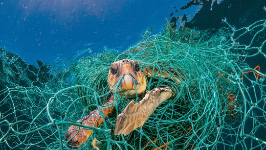 An old plastic fishing net snares a loggerhead turtle in the Mediterranean off Spain. The turtle ...
