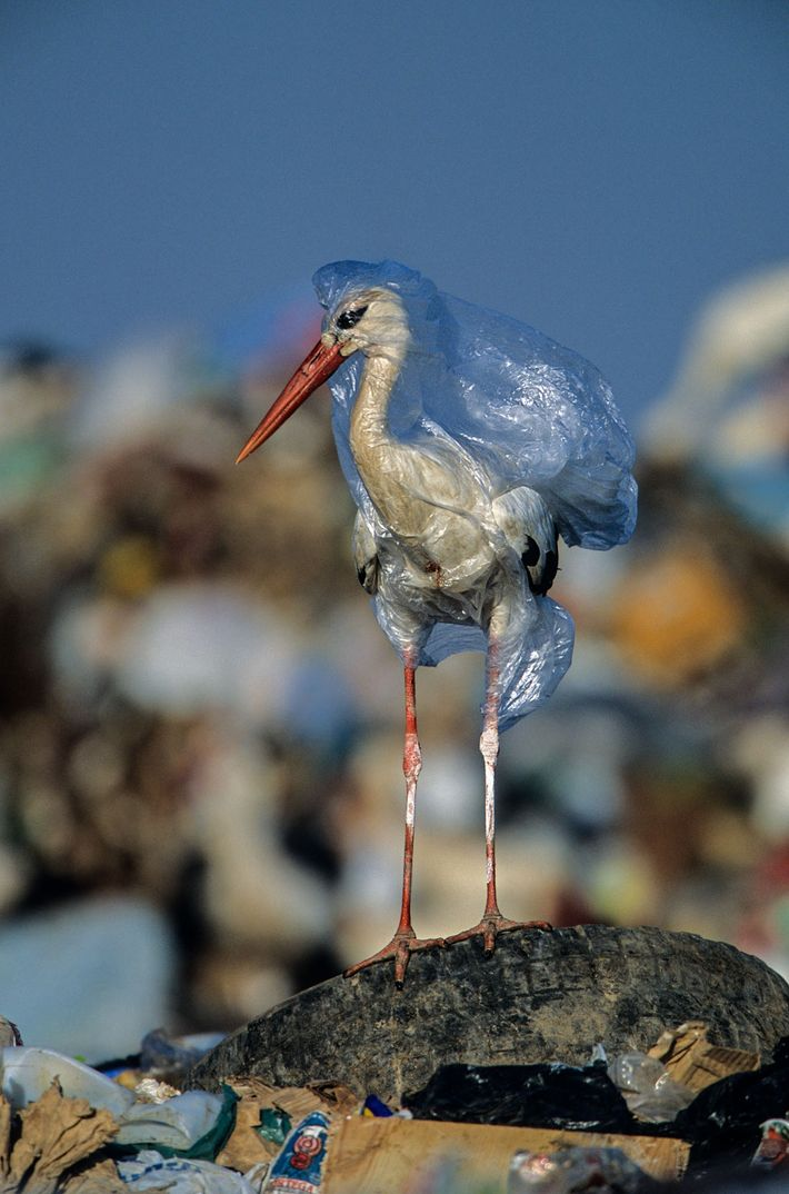 The photographer freed this stork from a plastic bag at a landfill in Spain. One bag ...