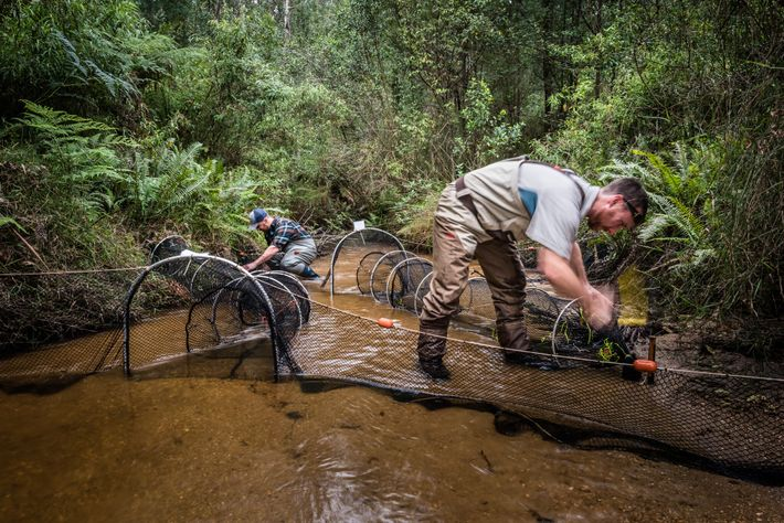 Josh Griffiths and researcher Farley Connelly set out nets to capture platypuses. After sunset, they'll check ...