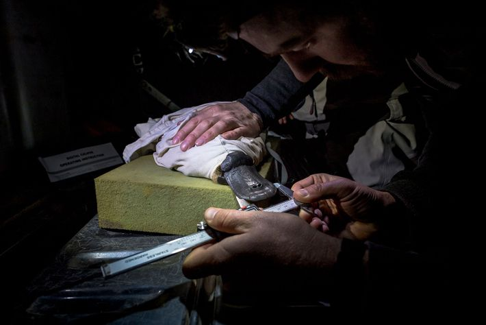 Platypus researchers take bill measurements from a platypus captured as part of a study by the ...