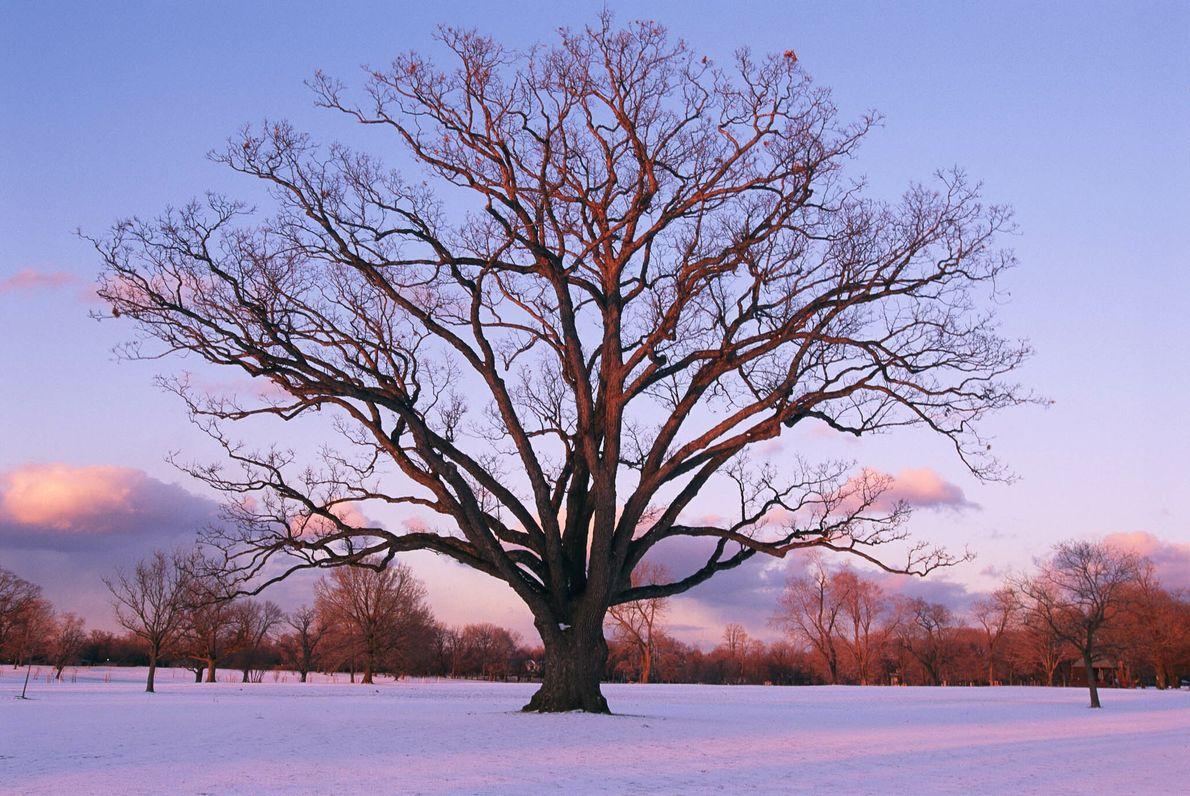Sturdy Oak