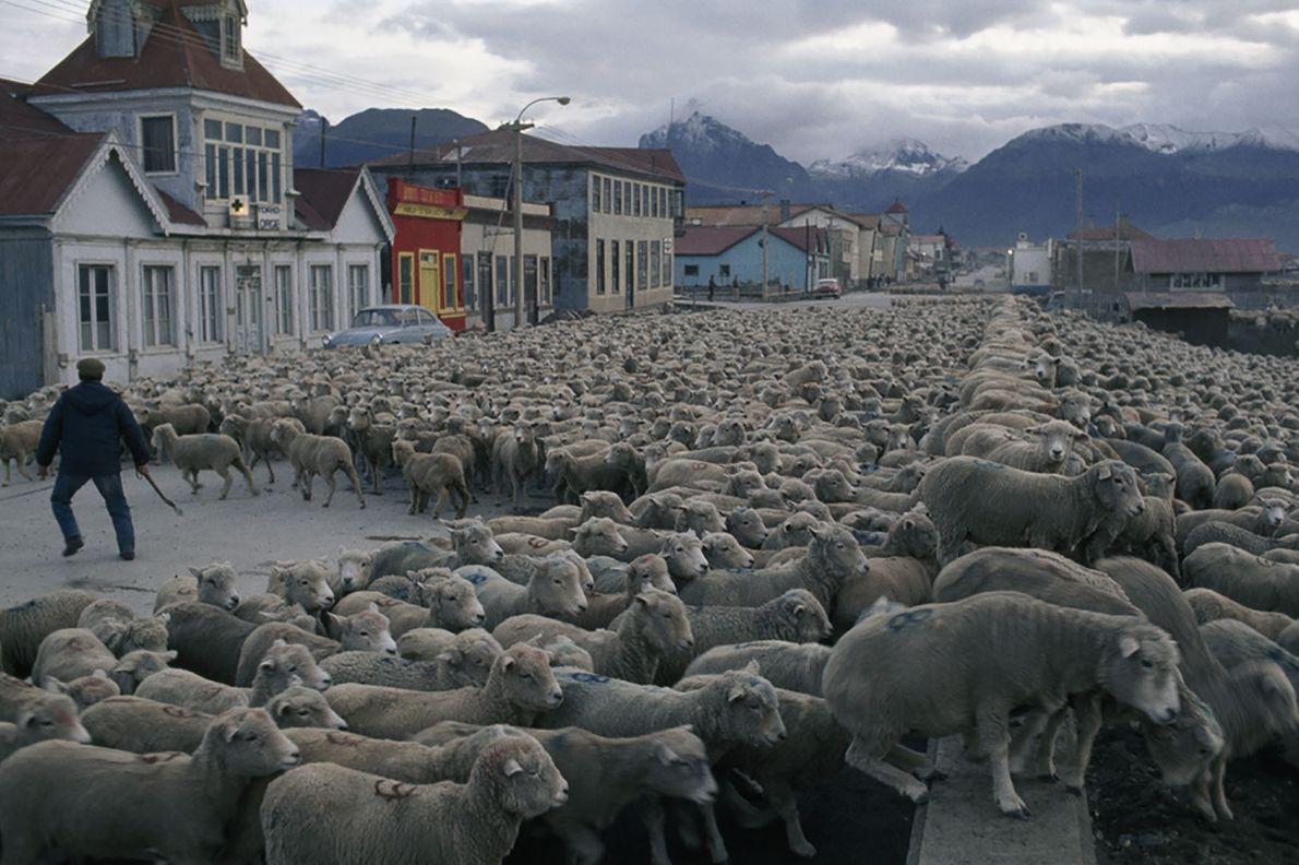Shipping Sheep