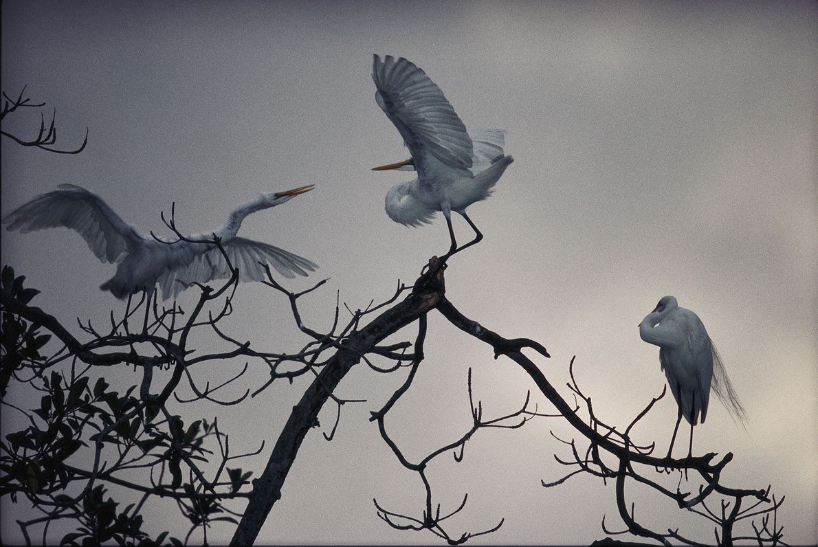 Evening Egrets