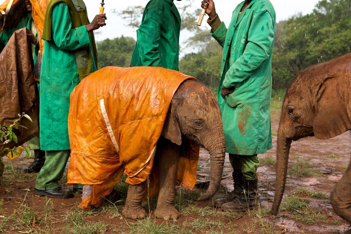 In the David Sheldrick Wildlife Trust's Nairobi Elephant Nursery, Kenya, keepers protect a baby elephant from ...