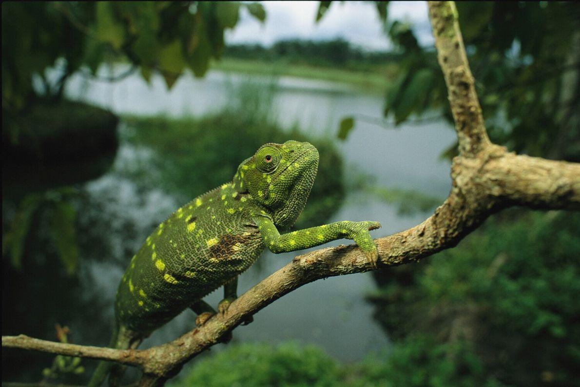 A flap-necked chameleon stops mid-stride on a limb in Loango National Park, Gabon. Gabon's rich biodiversity ...