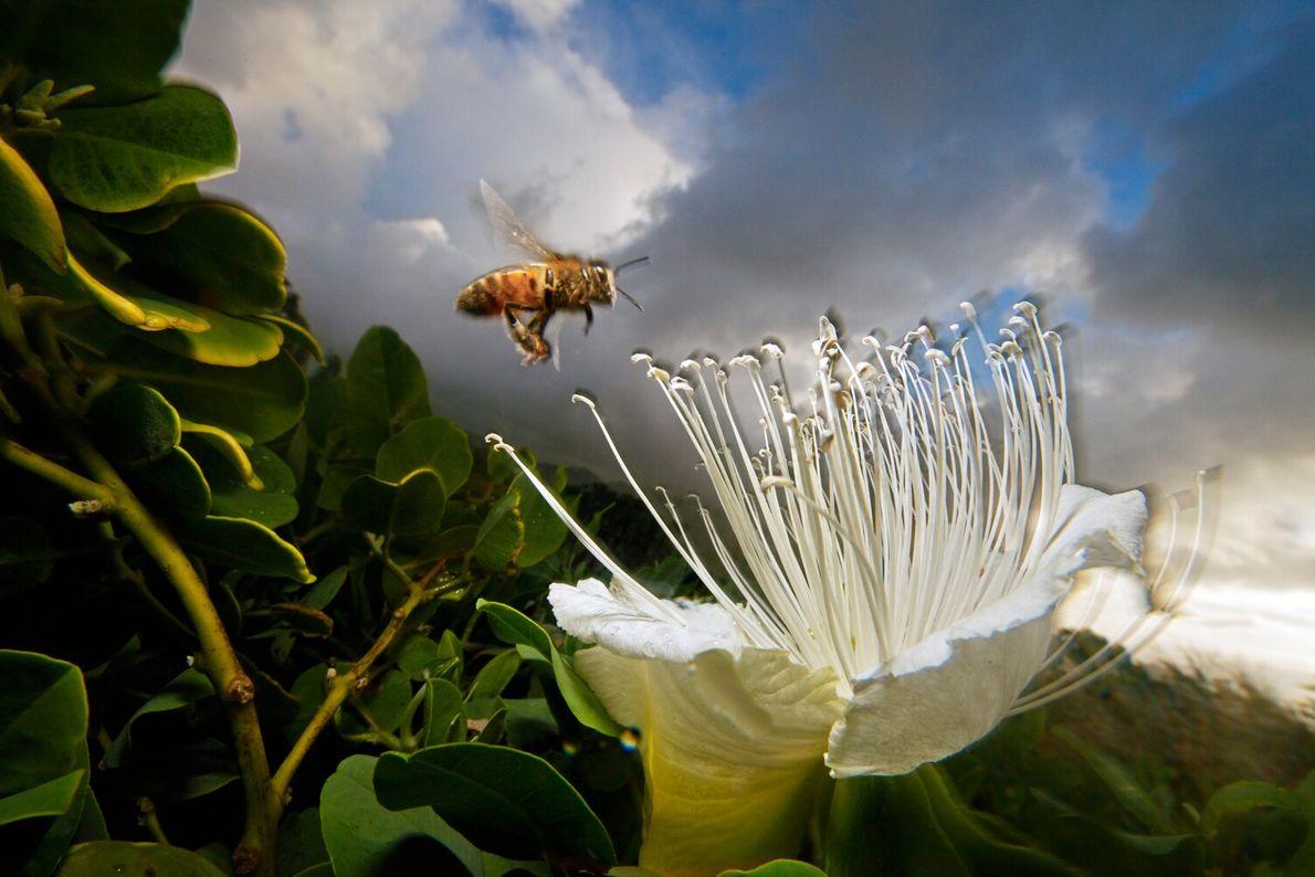 A honeybee hovers over a rare caper flower in Kauai, Hawaii. This native Hawaiian plant was ...