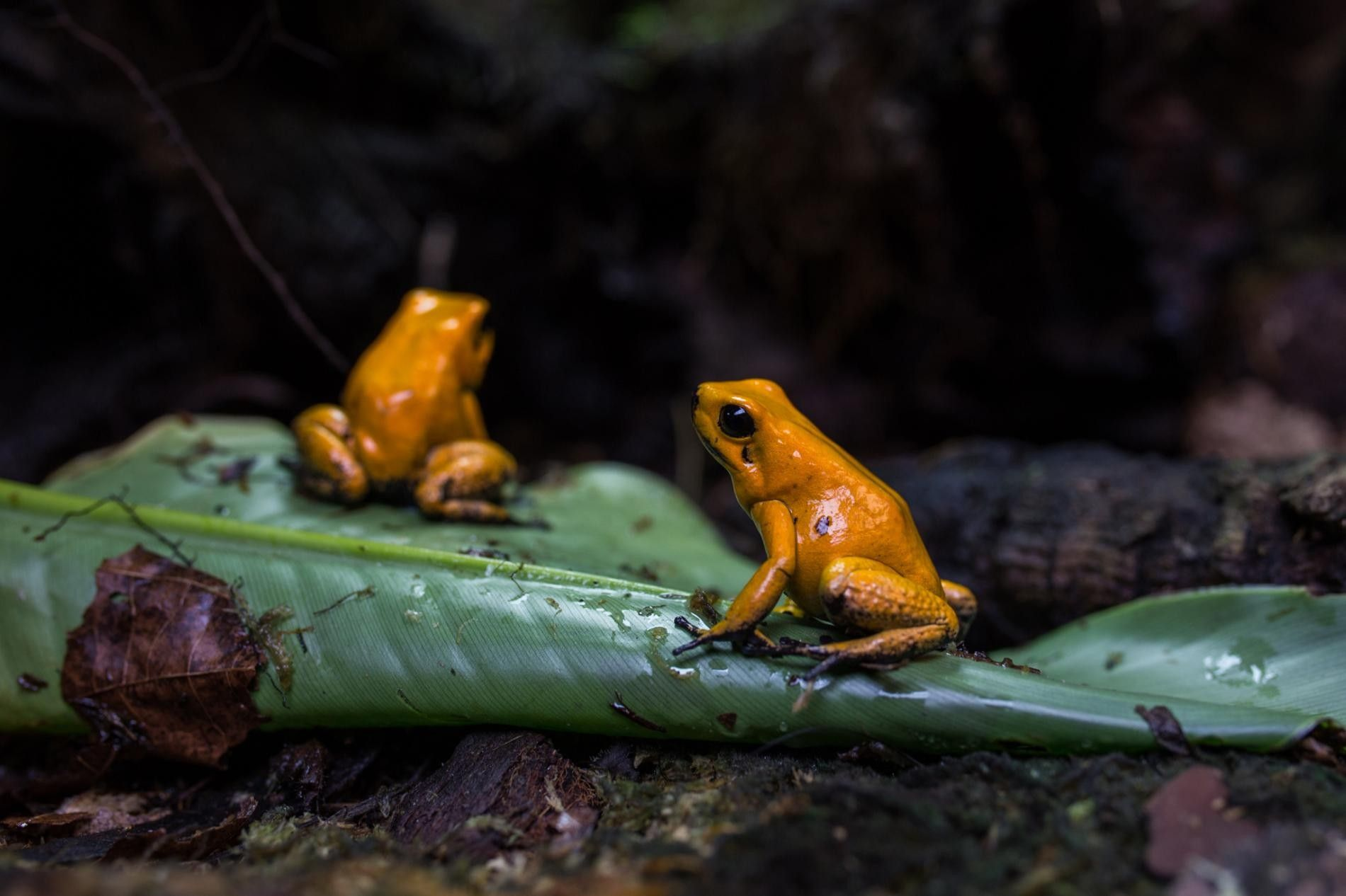 Barely bigger than an inch, a wild endangered golden poison frog packs enough poison to kill ...