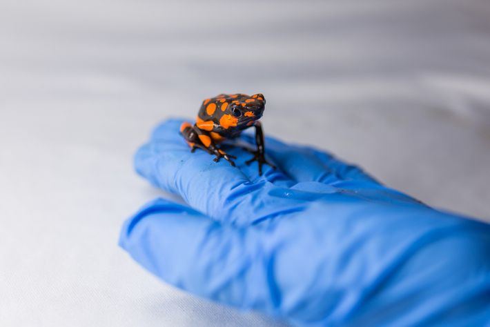Poison frogs' eye-popping colourations, such as that of this harlequin poison frog, serve as warning signs ...
