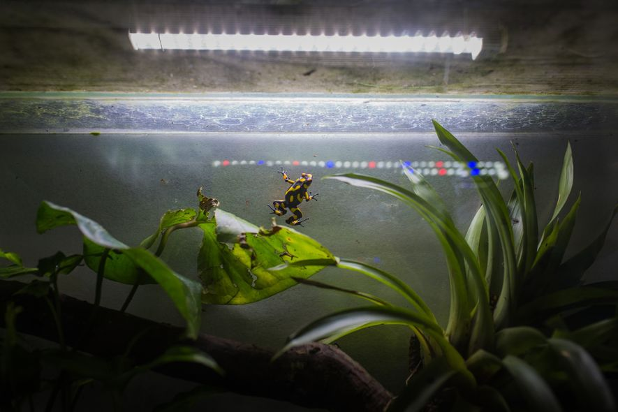 LED lights provide illumination without increasing temperatures for the delicate frogs, many of which are found ...