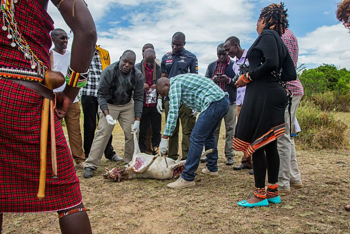In Masai Mara, villagers, along with rangers, community leaders, veterinarians, and NGO staff, participate in a ...