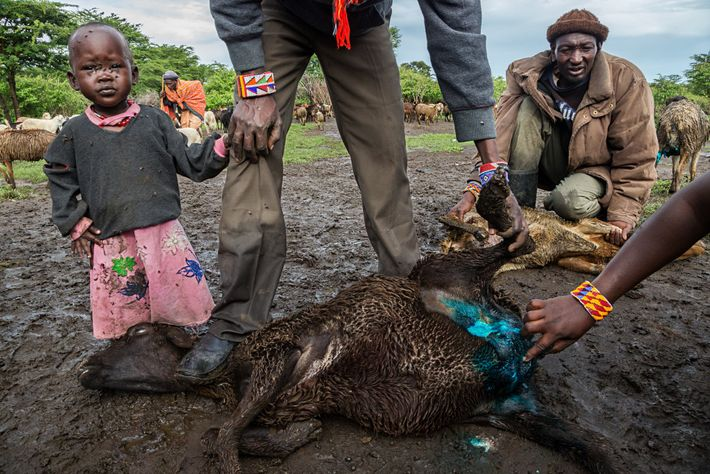 Villagers in Empopogi, east of Masai Mara, treat an injured goat with brightly coloured antiseptic spray. ...