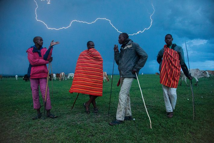 These Maasai drive cattle and sheep from their village into Masai Mara reserve, reducing forage for ...
