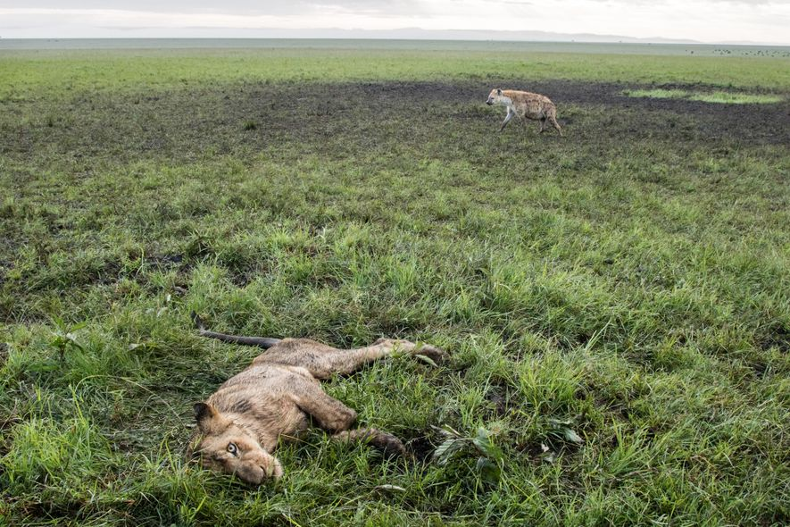 A hyena waits to make its move on a dying Marsh Pride lion. The night before, ...