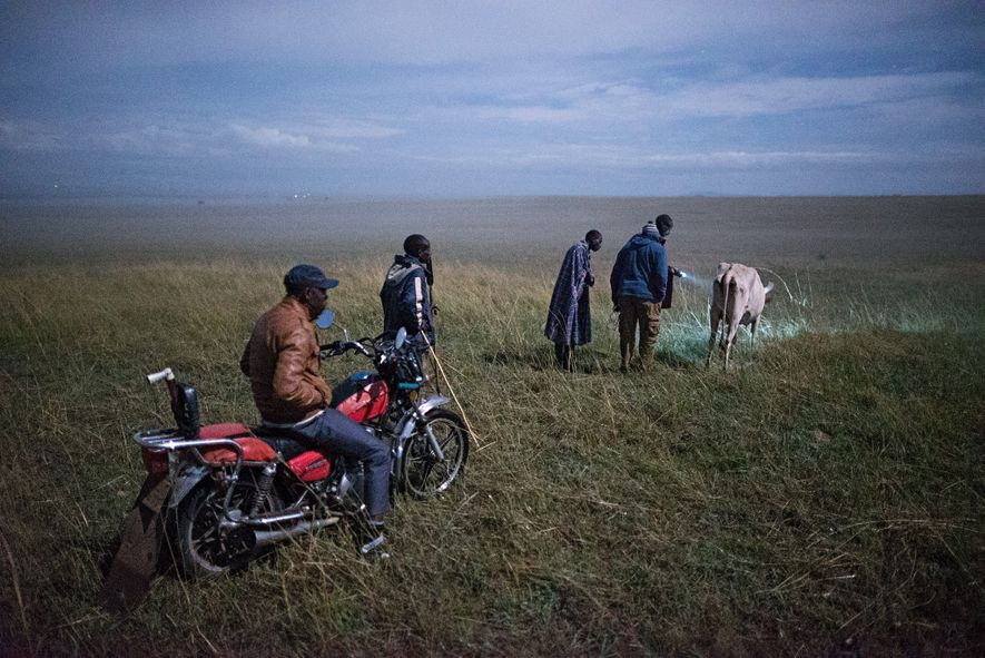 Inside Masai Mara, herders inspect the injuries a cow suffered during a lion attack. Young Maasai ...