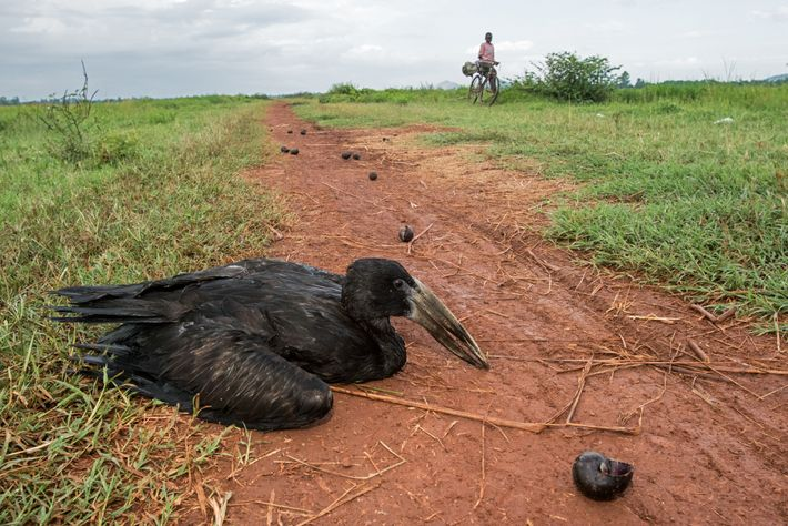 Poachers in the Bunyala rice fields poisoned an African openbill stork by feeding it snails containing ...