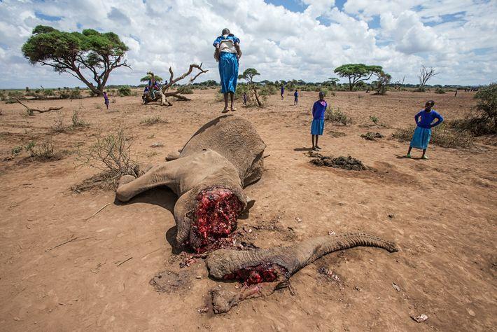 A Maasai girl bounces on the carcass of a 52-year-old female elephant near Amboseli National Park, ...