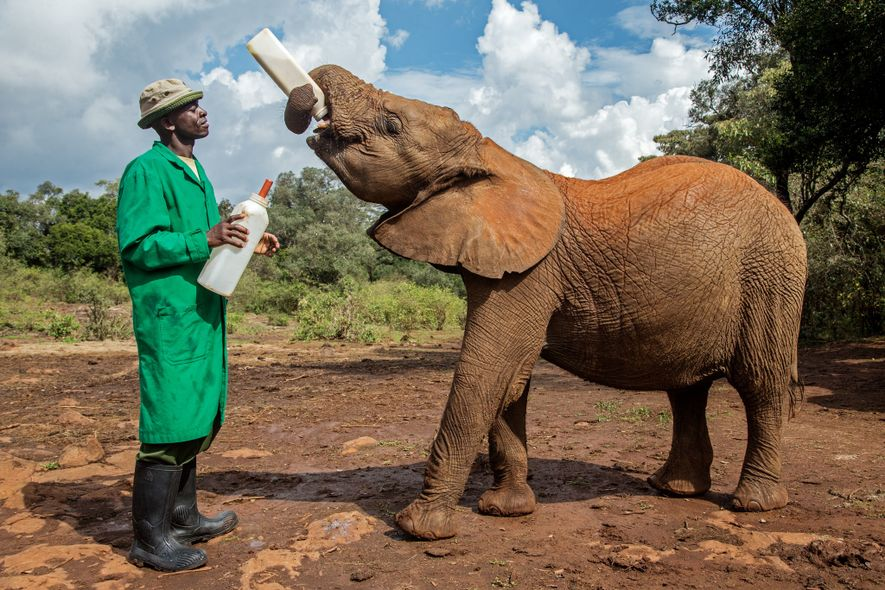 This young elephant, lovingly cared for at a retreat in Nairobi, was orphaned in Masai Mara ...