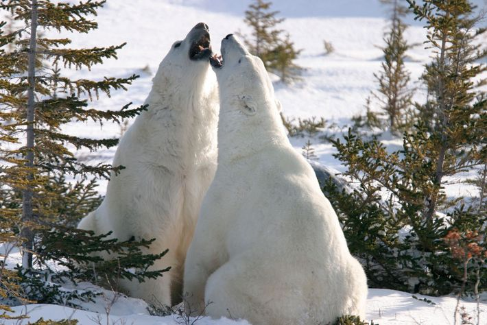 Two bears play fight with one another near Canada's Hudson Bay.