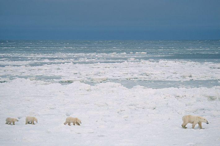 Polar bears walk across the snow near Churchill, where many of the animals gather each year ...