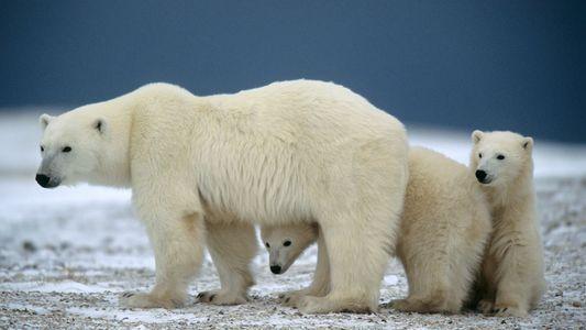 How to Experience Canada's Famous Polar Bear Party