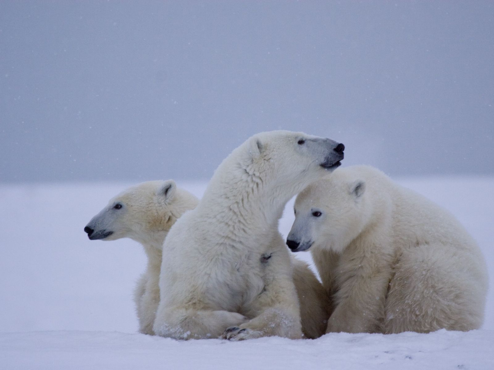 You can experience up-close visits with Polar Bears during winter and summer in Churchill, Manitoba.