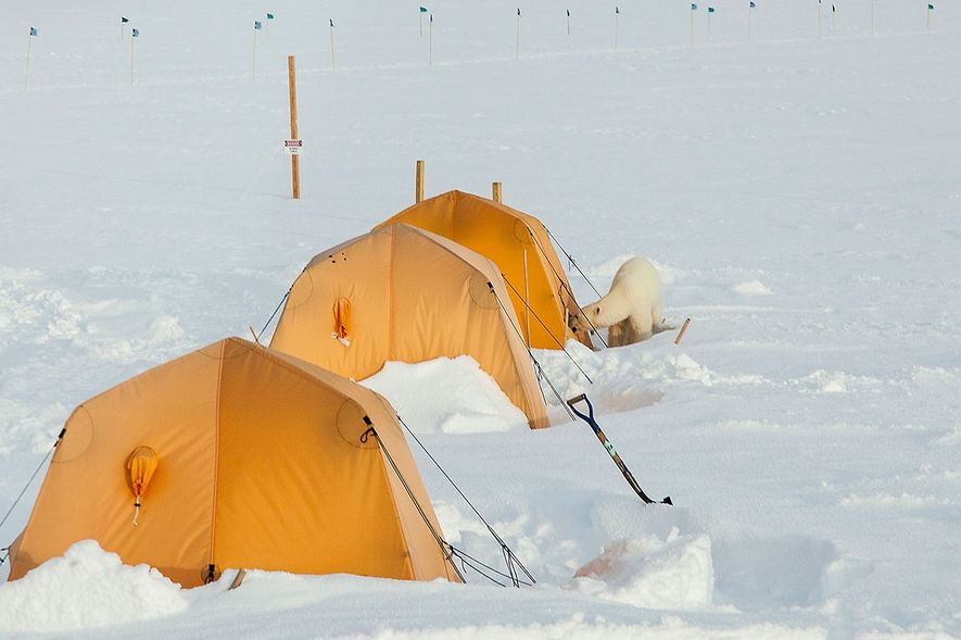 This polar bear rummaged through the Summit Station at the top of Greenland this summer, where ...