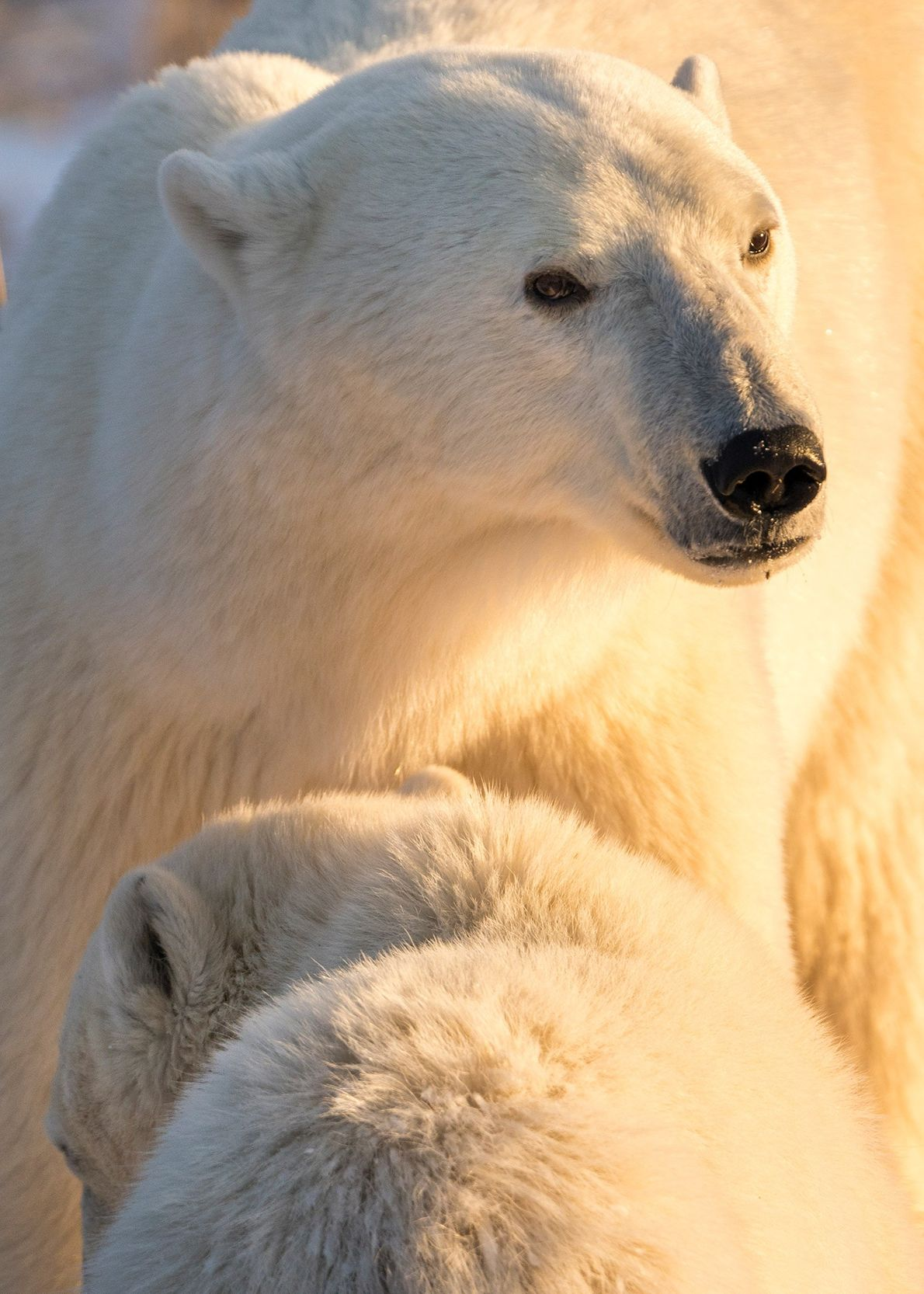 A polar bear mother and cub brace against bitter cold near Hudson Bay, Canada. Lau and ...