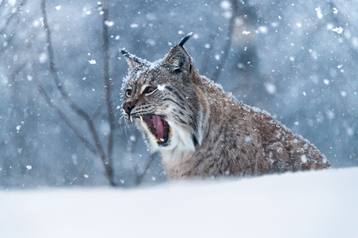 A Eurasian lynx at the Polar Park Arctic Wildlife Centre, Bardu. With 11,000 square metres and ...