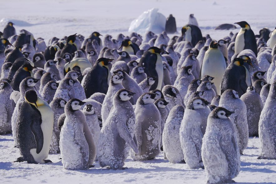 Hostile Planet: a penguin chicks creche, where they wait for their parents to return with food ...