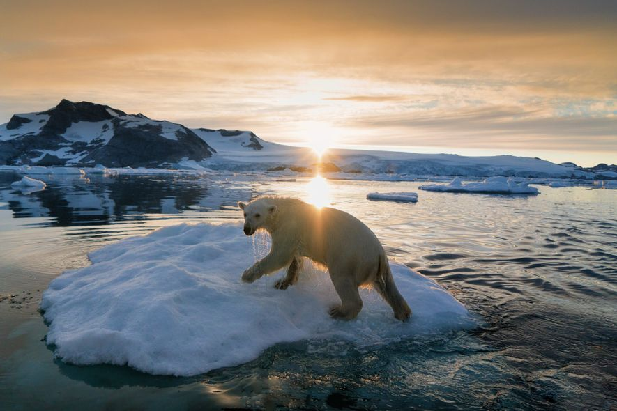 A polar bear navigates the Arctic climes of Greenland. After the International Union for Conservation of ...