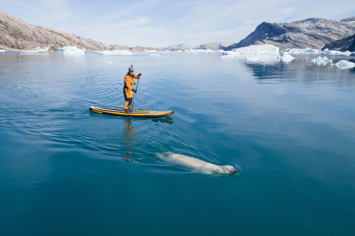 Libecki approaches a swimming polar bear while paddleboarding in the Greenland Sea.