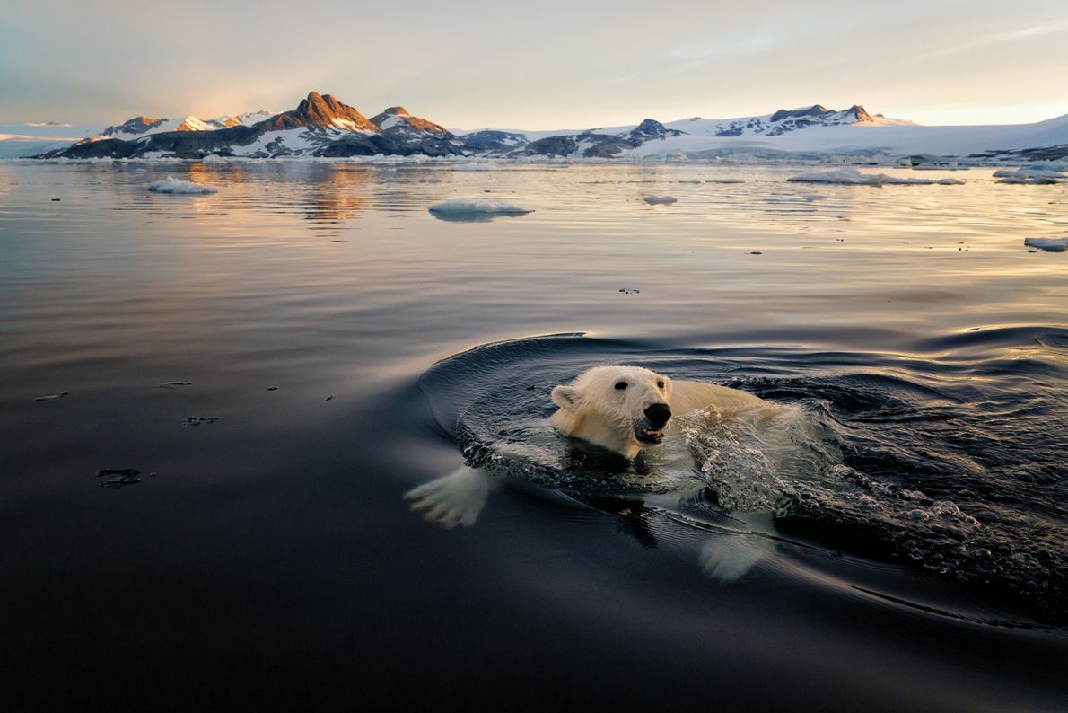 More frequently found on the eastern coast of the island, polar bears are known as tornassuk—the ...