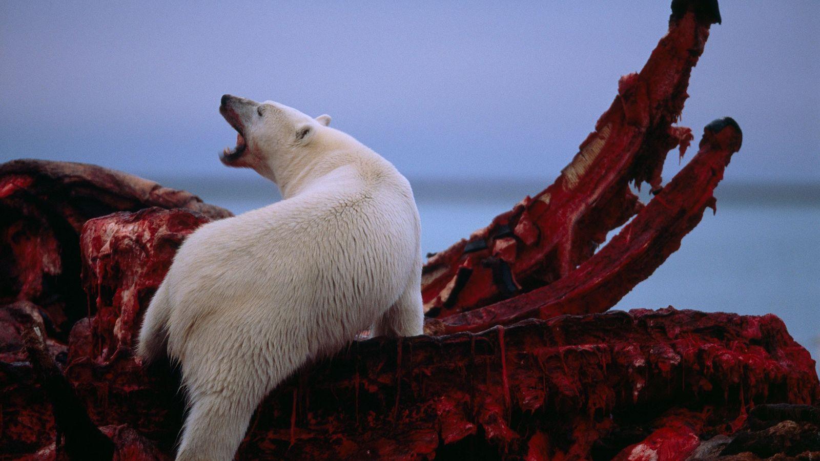 A polar bear scavenges a bowhead whale carcass along the Beaufort Sea in Alaska's North Slope. ...