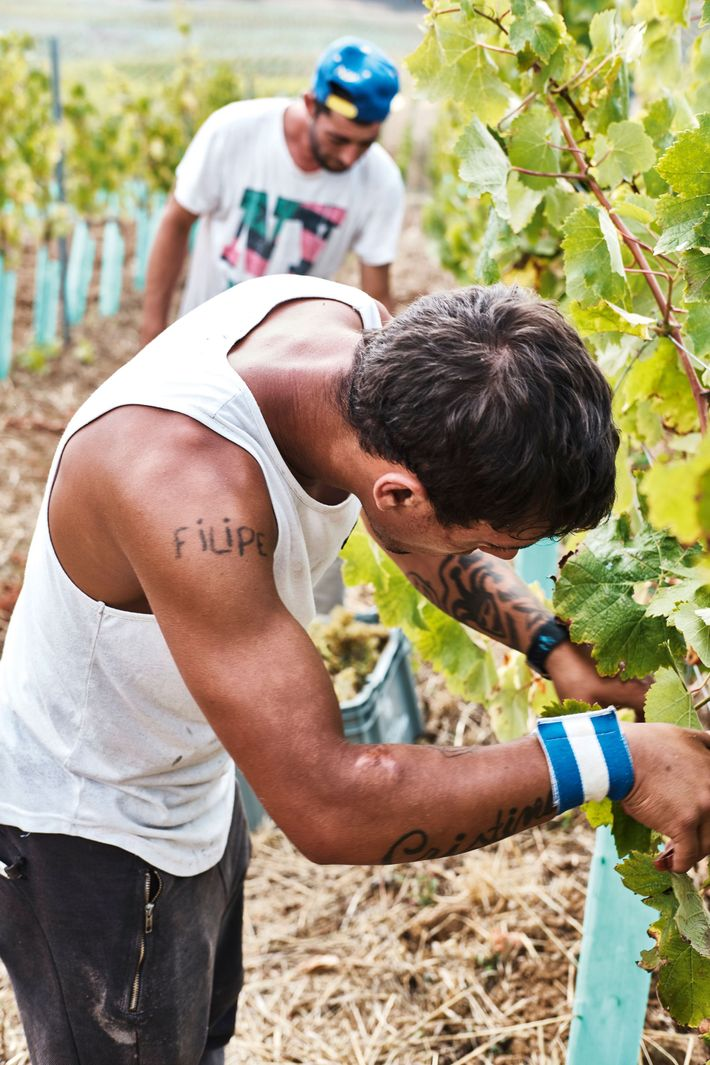 Farmers picking grapes at Quinta do Monte d'Oir, translating to 'Mountain of Gold'.