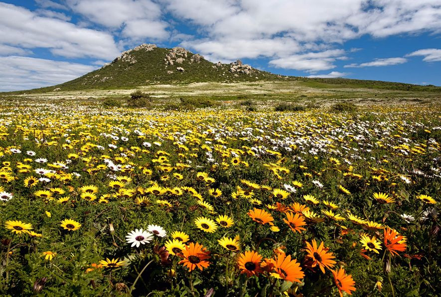A carpet of flowers fill a field in the Postberg Nature Reserve in the West Coast ...