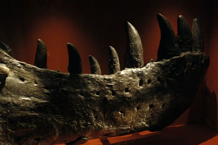 A fragment of the lower jaw of the first T. rex discovered, in 1900 by Barnum ...