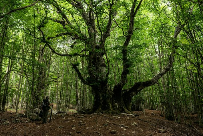 pontone-beech-tree