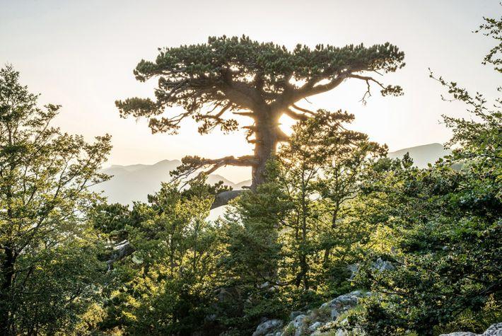 monumental-lricate-pine