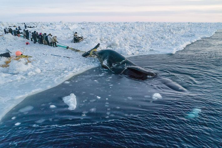 """""""Whaling is community. It takes a village to pull up a whale,"""" says whaling captain Ned ..."""