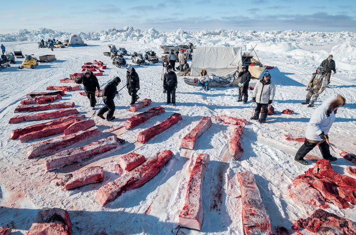 A butchered bowhead whale can yield thousands of pounds of food. The ninit —community shares of ...