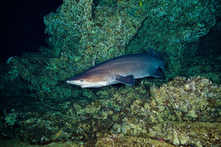 A prickly shark swims among the cliffs and crevices of Las Gemelas. Costa Rica