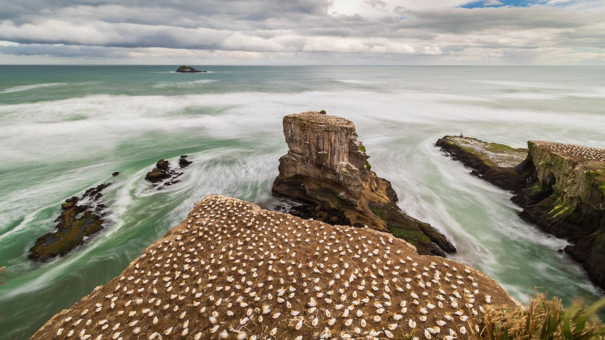 I had this picture in mind when I decided to go to Muriwai: the gannet colony, ...