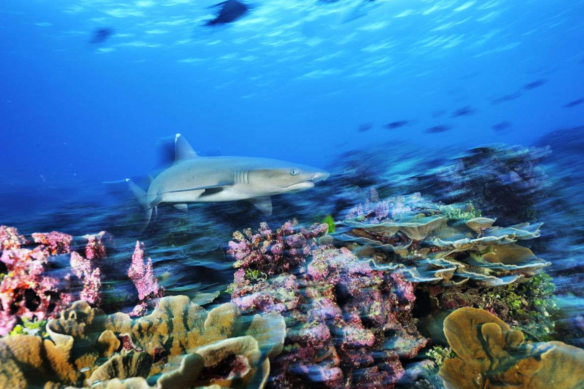 A whitetip reef shark swims over regrown coral in the Phoenix Islands Protected Area, in the ...
