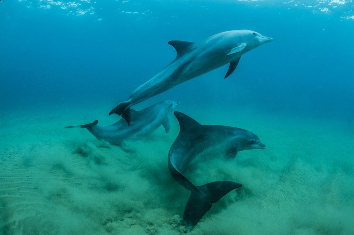 Bottlenose dolphins swim in the Indian Ocean in the Ponta Do Oro Marine Reserve, Mozambique.
