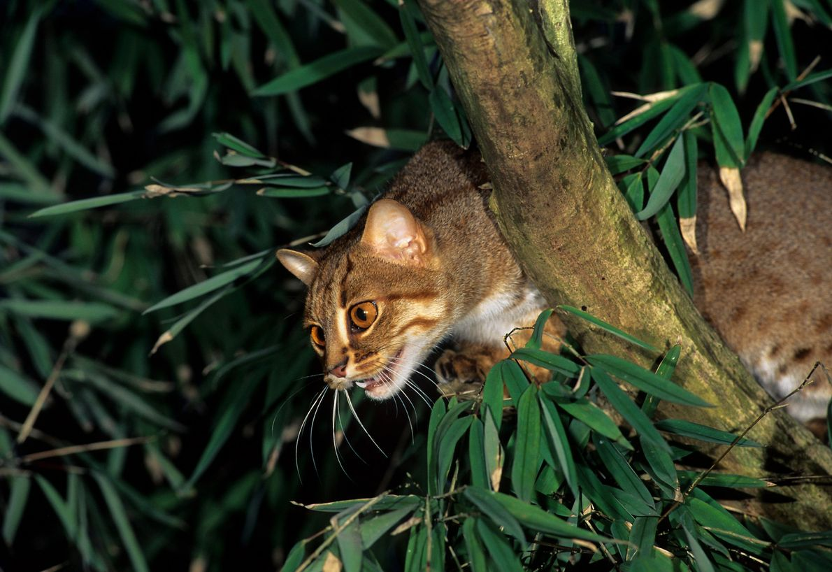 Thought to inhabit agricultural landscapes, the rusty spotted cat – named aptly for its coat – ...