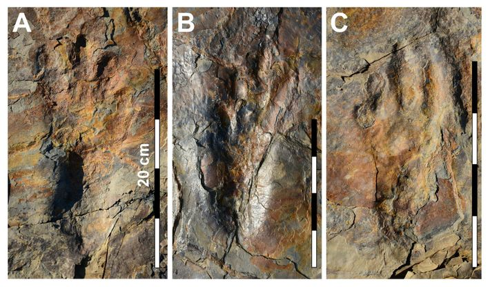 Photographs of well-preserved track impressions from the crocodile relative Batrachopus grandis.