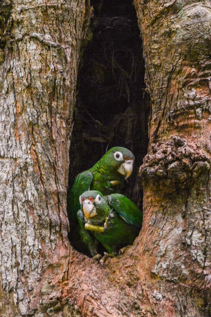 A pair of Puerto Rican parrots with radio collars peek out of their nest cavity. The ...