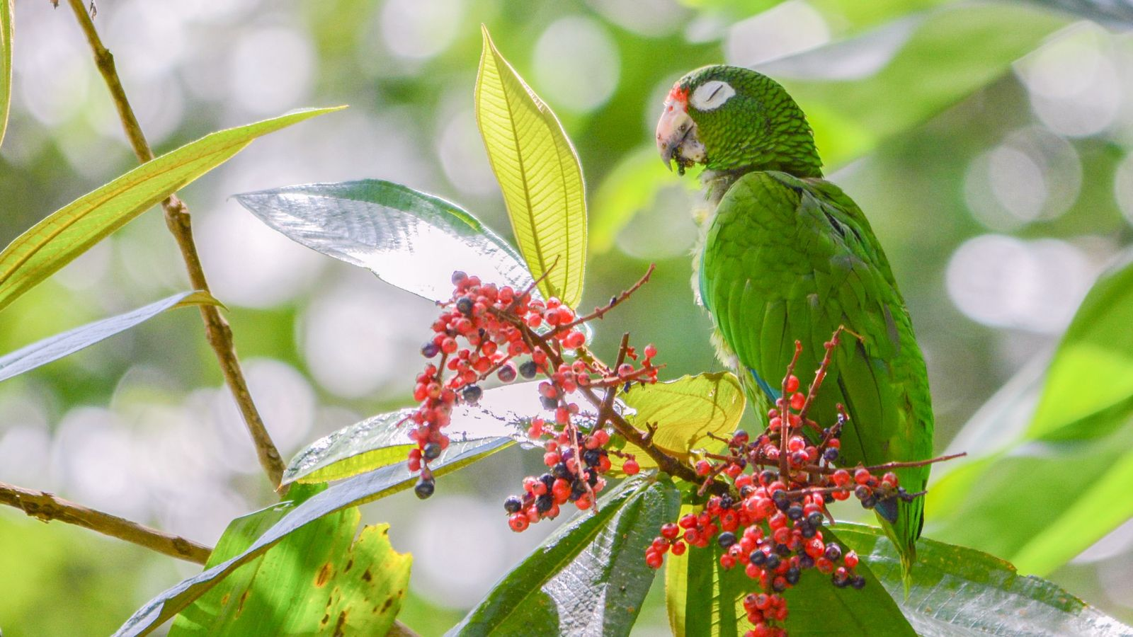 A recently released Puerto Rican parrot eats camasey fruit. There are about 600 of these parrots ...
