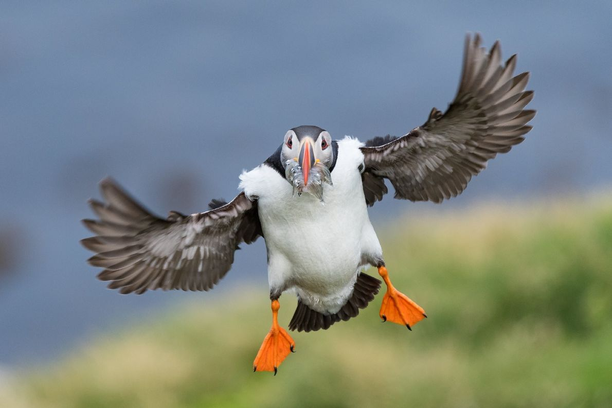 An Atlantic puffin returns from the ocean with a mouthful of sand eels to feed its ...