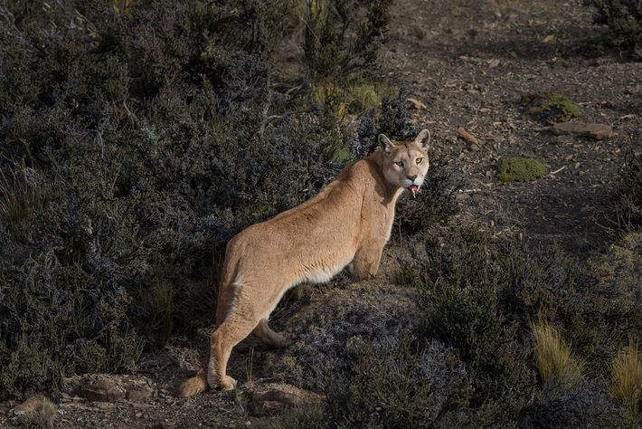 A female puma sports visible injuries she sustained during an attempt to hunt a guanaco. With ...